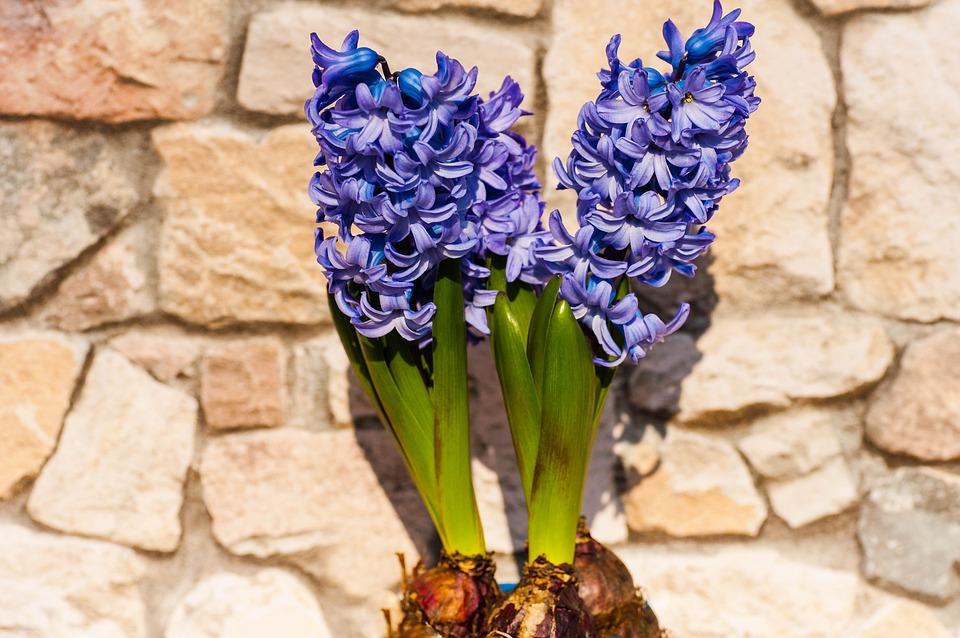 hyacint u zdi