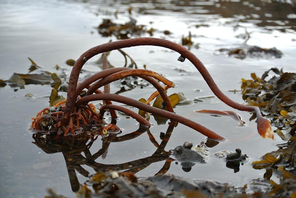 mořská řasa